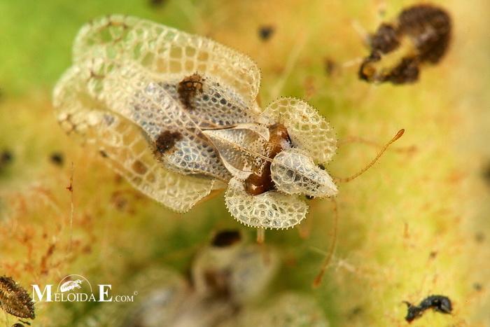 Чем опасны клопы для человека – страшные болезни от паразитов
