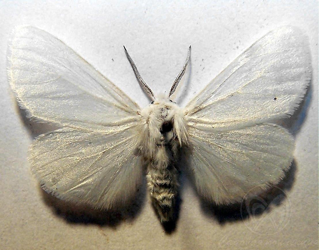 Какой вред приносит американская бабочка