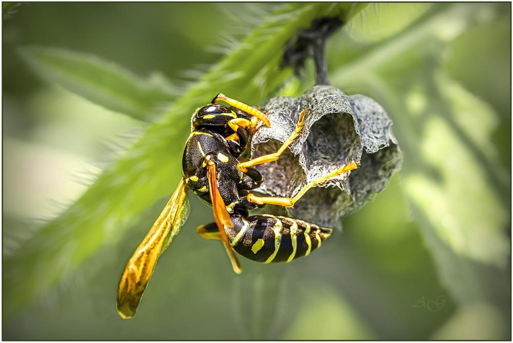 Осиное гнездо лечебные свойства