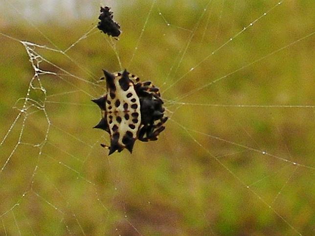 Паук – описание, виды, размножение, чем питаются, фото