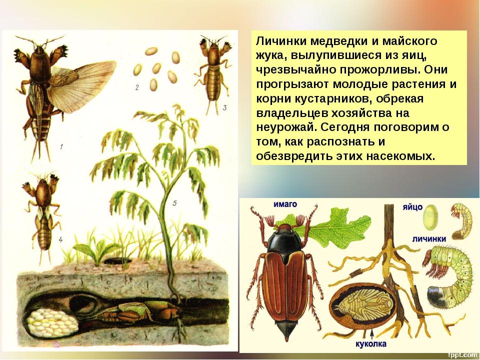 Как определить личинка майского жука в земле или медведки? целина перекопанная мотоблоком. майские жуки взрослые летают. / асиенда.ру
