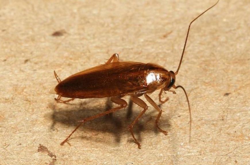 Домашний рыжий таракан (прусак): кусаются ли, описание, фото, сколько живет,чего боятся, размножение