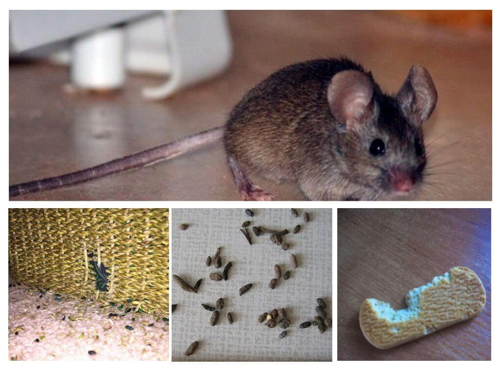 Как навсегда избавиться от крыс в частном доме, сарае, квартире народными средствами