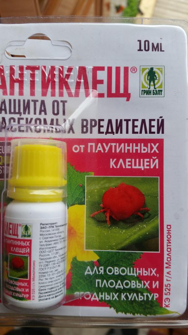 Как избавиться от паутинного клеща народными средствами на комнатных растениях и в теплице? русский фермер