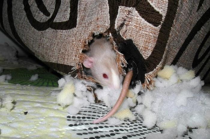 Крыса съела мышь