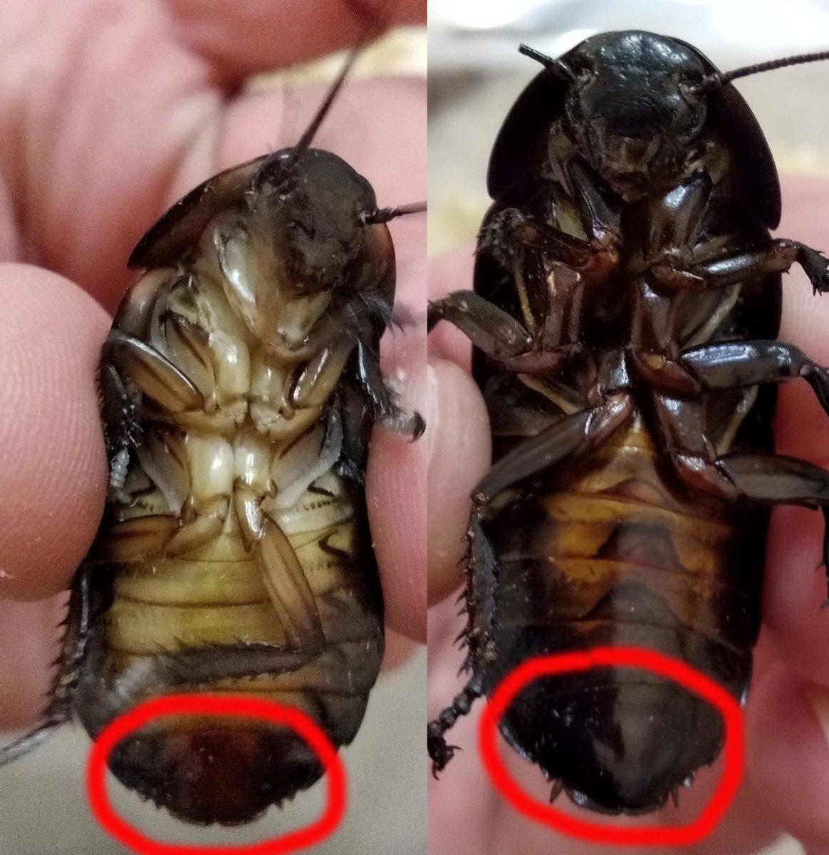 Сколько живут домашние тараканы? как долго они живут без еды и без воды?