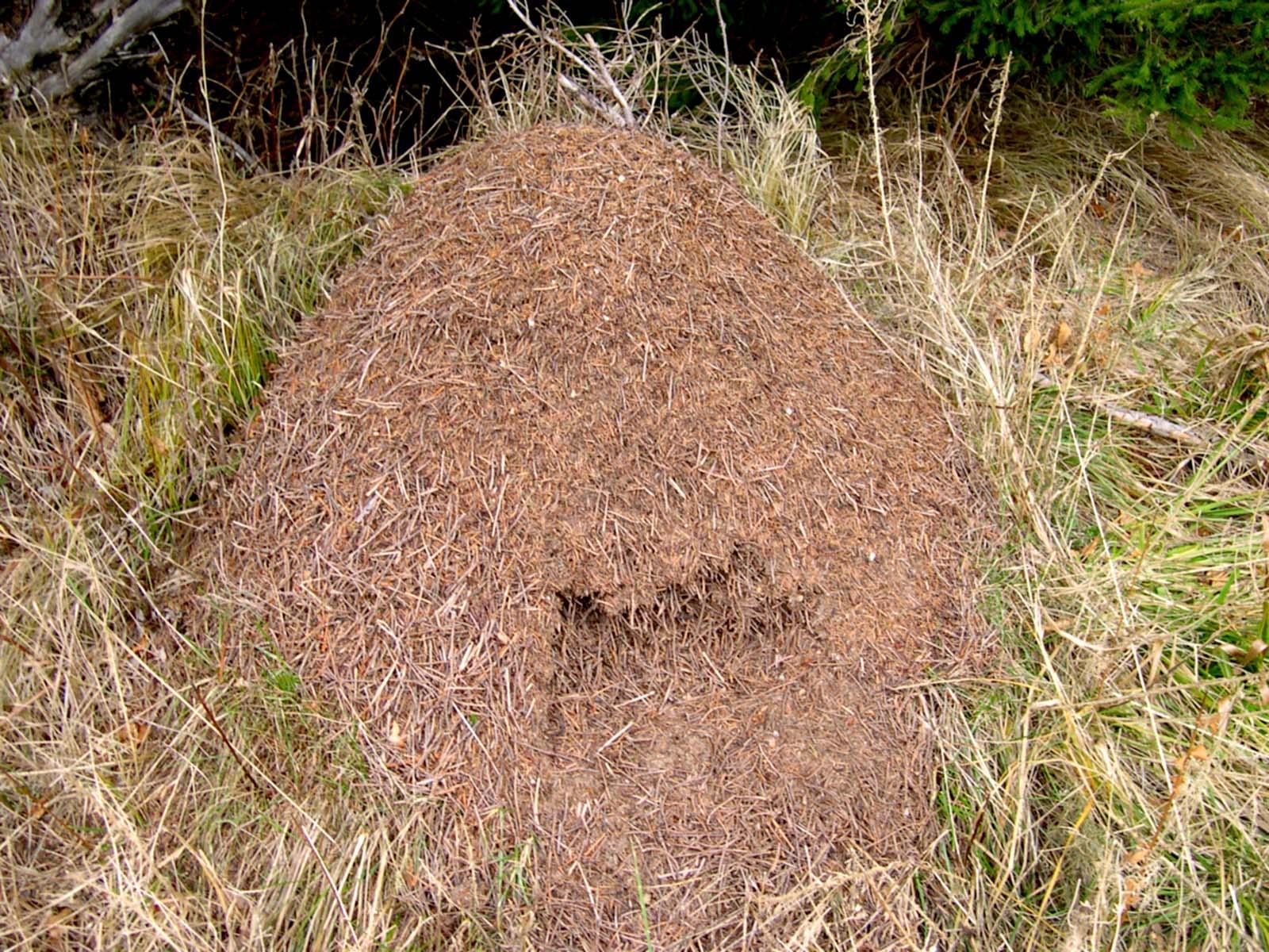 К чему снятся муравьи в большом количестве: в квартире, в доме, на теле, в муравейнике