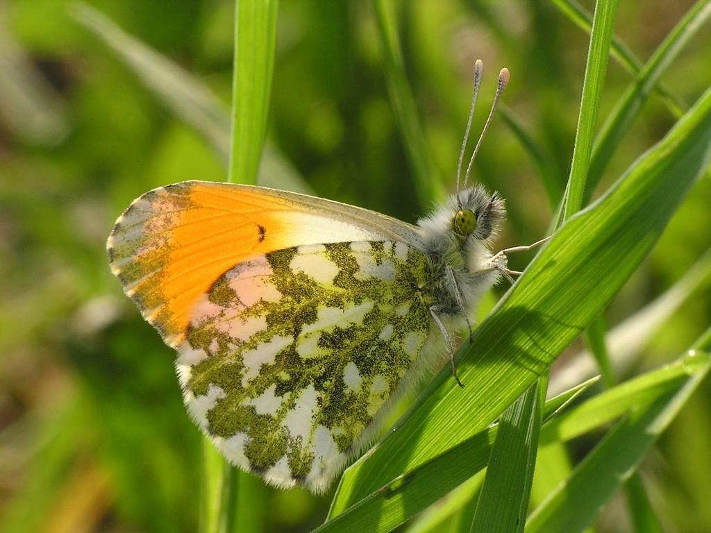 Бабочка зорька - описание, среда обитания, виды