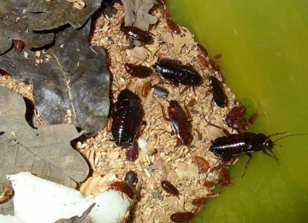 Откуда появляются большие черные тараканы в квартире и как от них избавиться?