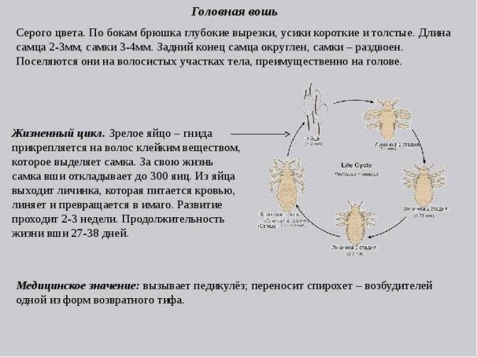 Инкубационный период головных и лобковых вшей и гнид: стадии размножения