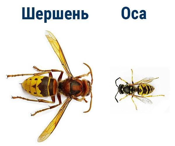 Всё о шершнях: виды, как выглядят, сколько живут и чем питаются, размеры, отличия от осы и пчелы, фото