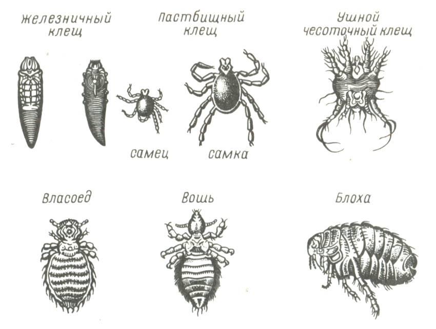 Опасные вредители пчел: методы борьбы и описание видов, фото и видео