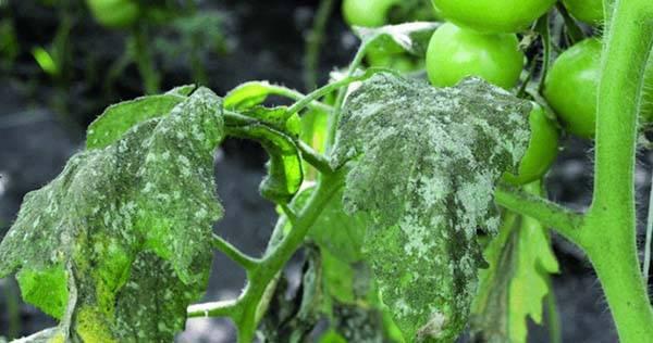 Белокрылка на томатах в теплице, как избавиться - самые эффективные способы