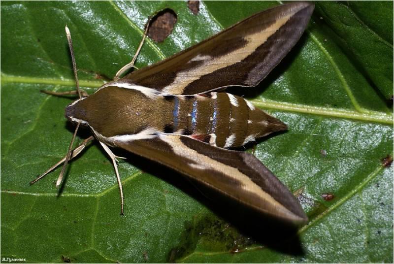 Полоскун бороздчатый: образ жизни имаго и личинки в пресных водоемах
