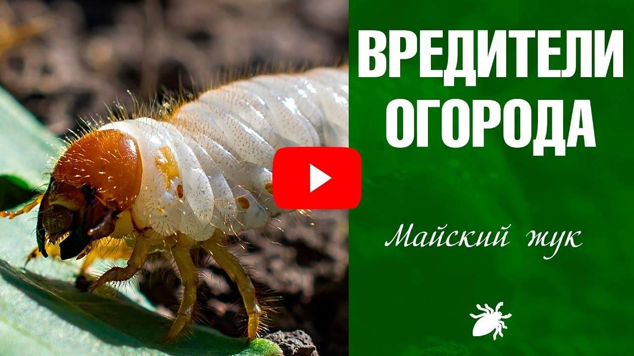 Личинки майского жука и как с ними бороться