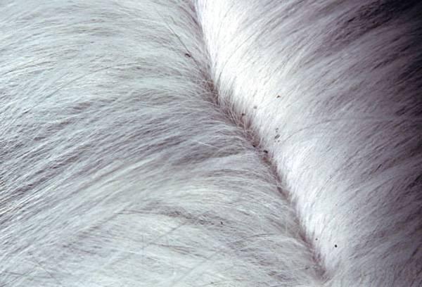 Власоеды у кошек: симптомы заражения и лечение