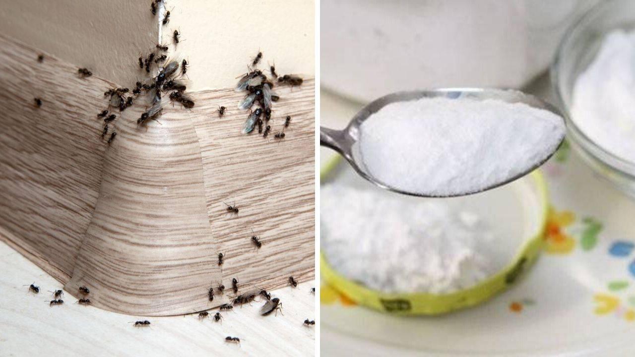 Как избавиться от муравьев в теплице навсегда народными средствами