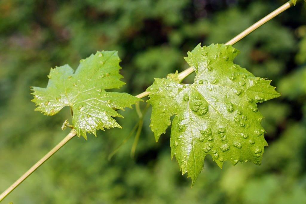 Виноградный клещ: фото и меры борьбы