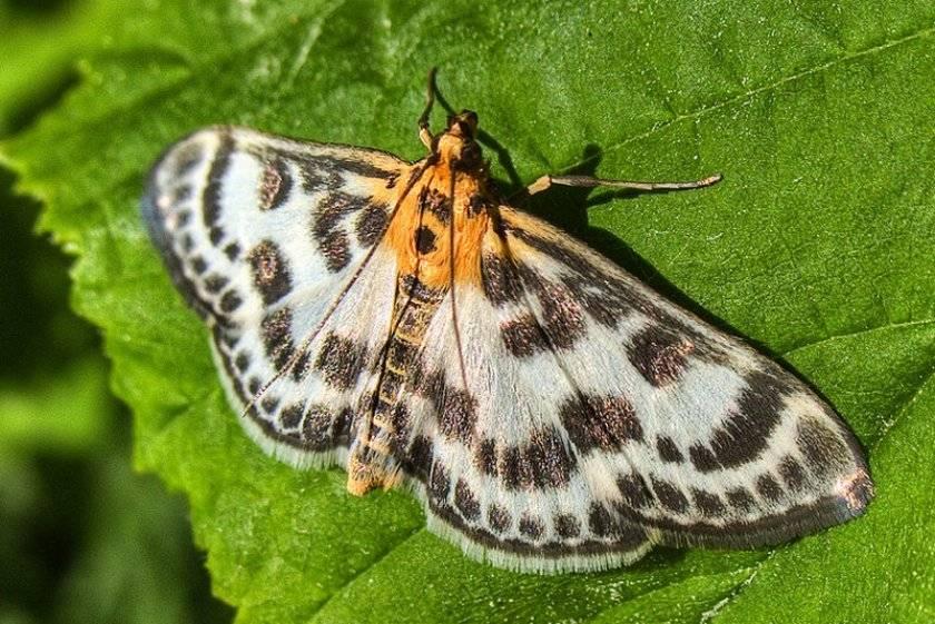 Внешний вид бабочки огневки и самые распространенные виды пищевой моли - методы борьбы