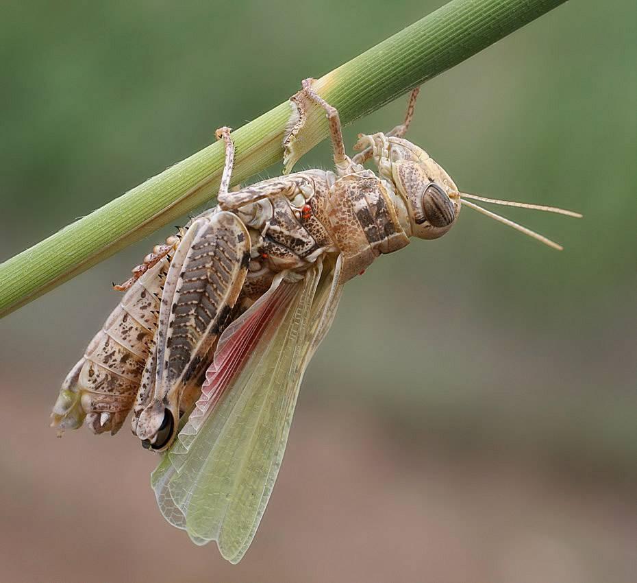 Кобылка голубокрылая – мастер маскировки среди саранчовых. саранча – как выглядит насекомое и где обитает сколько ног у саранчи