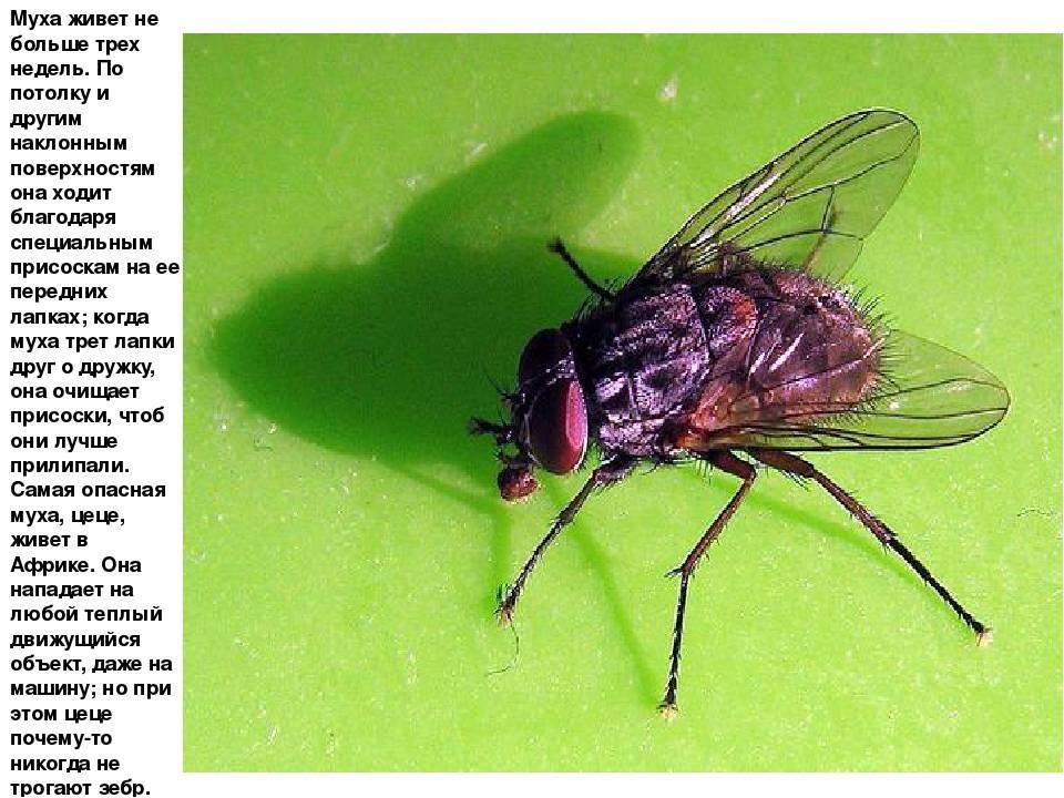 Почему все мухи такие надоедливые? причины, по которым мухи садятся на людей зачем муха садится на человека.