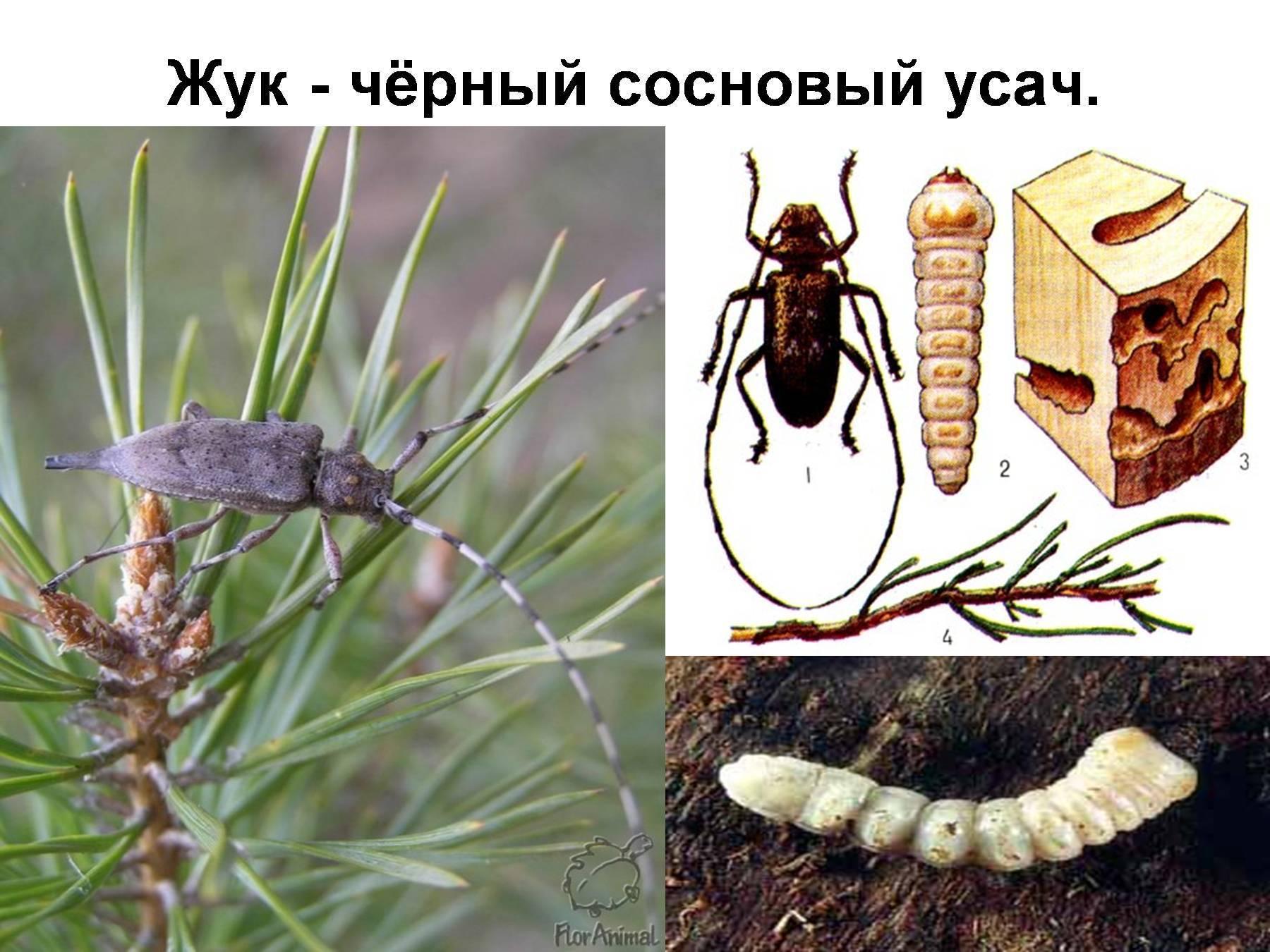 Муравьежук, или пестряк муравьиный