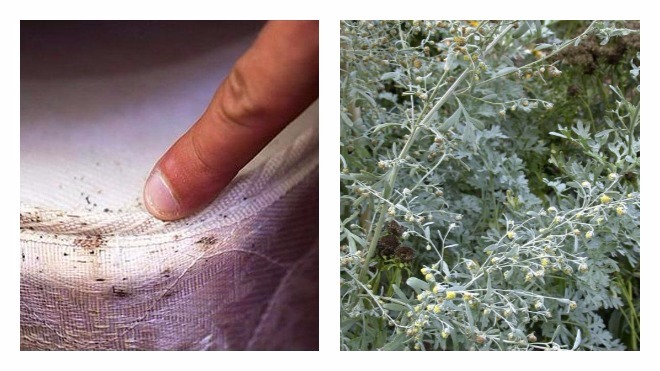 Трава полынь против блох: свойства растения, настойки для квартиры