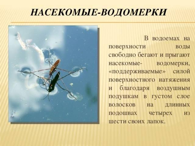 Насекомое водомерка: описание клопа водомерки с фото и видео, почему она не тонет, и может ходить по воде. водомерки насекомые