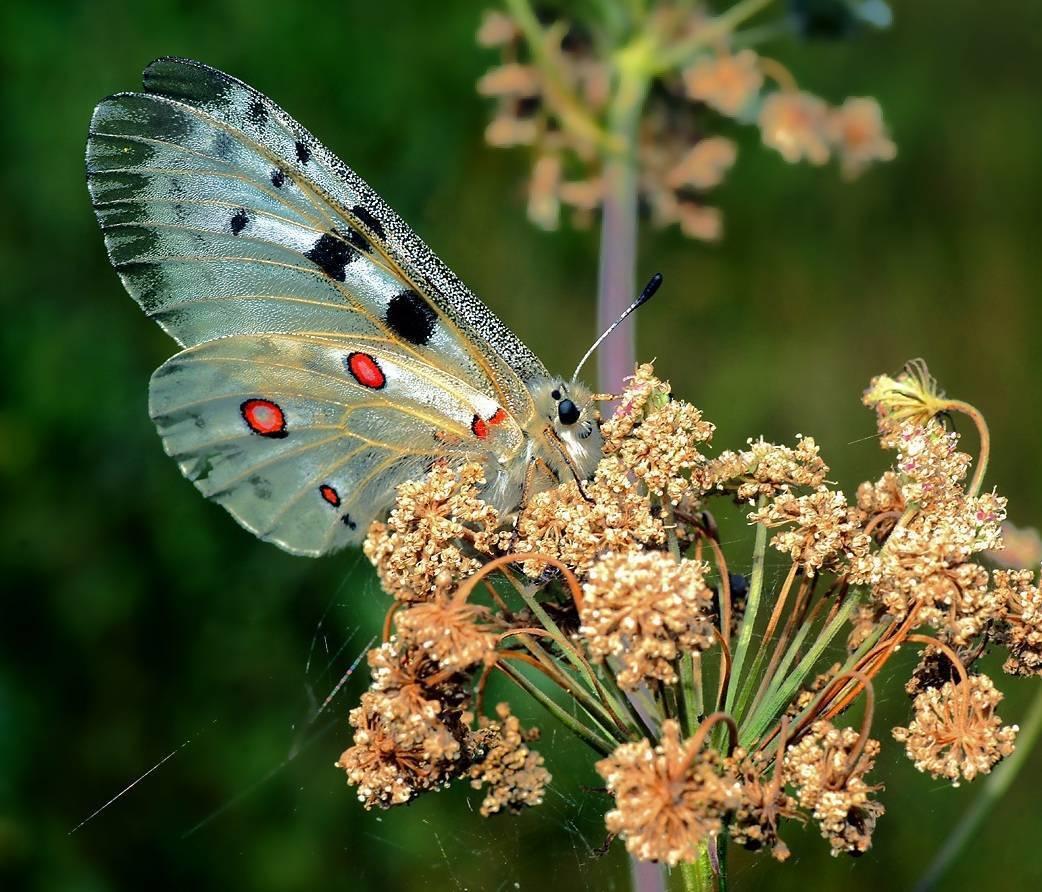 Аполлон (бабочка) — википедия. что такое аполлон (бабочка)