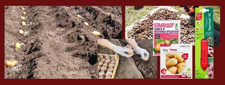 Обзор недорогих средств для предпосевной подготовки картофеля от болезней и вредителей — ботаничка.ru
