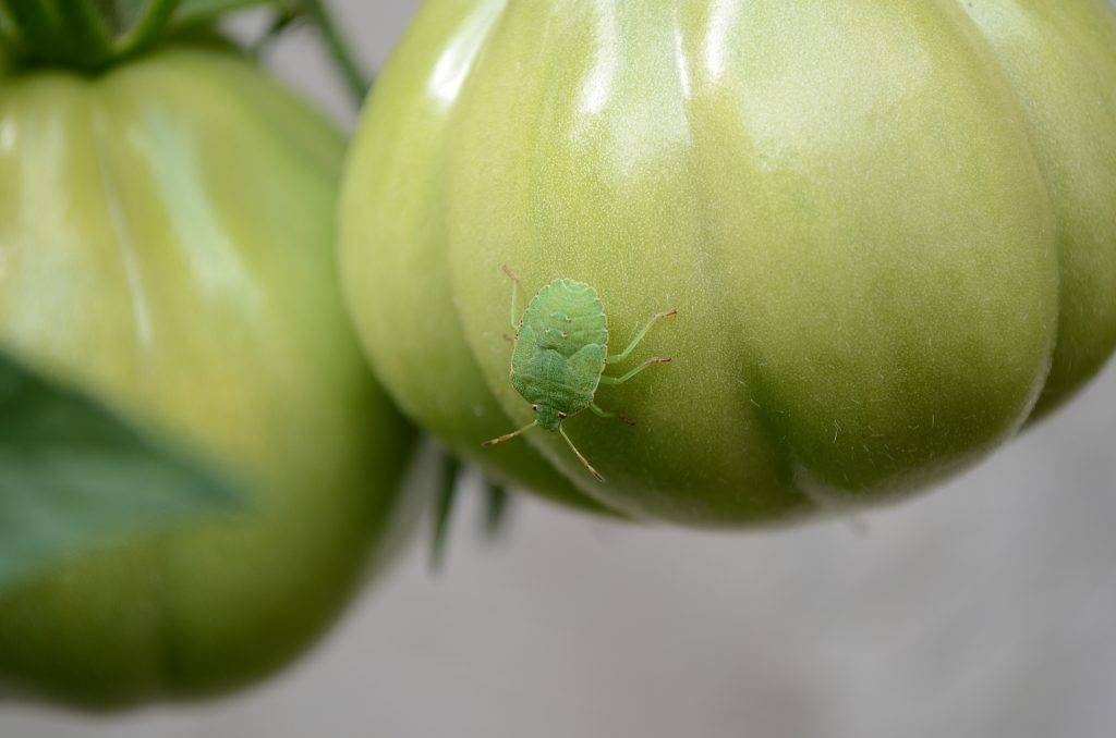 Как бороться с тлёй на помидорах с помощью народных методов