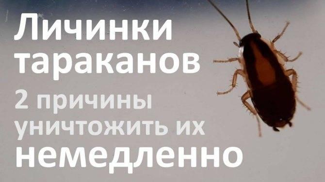 Сколько живут домашние тараканы?