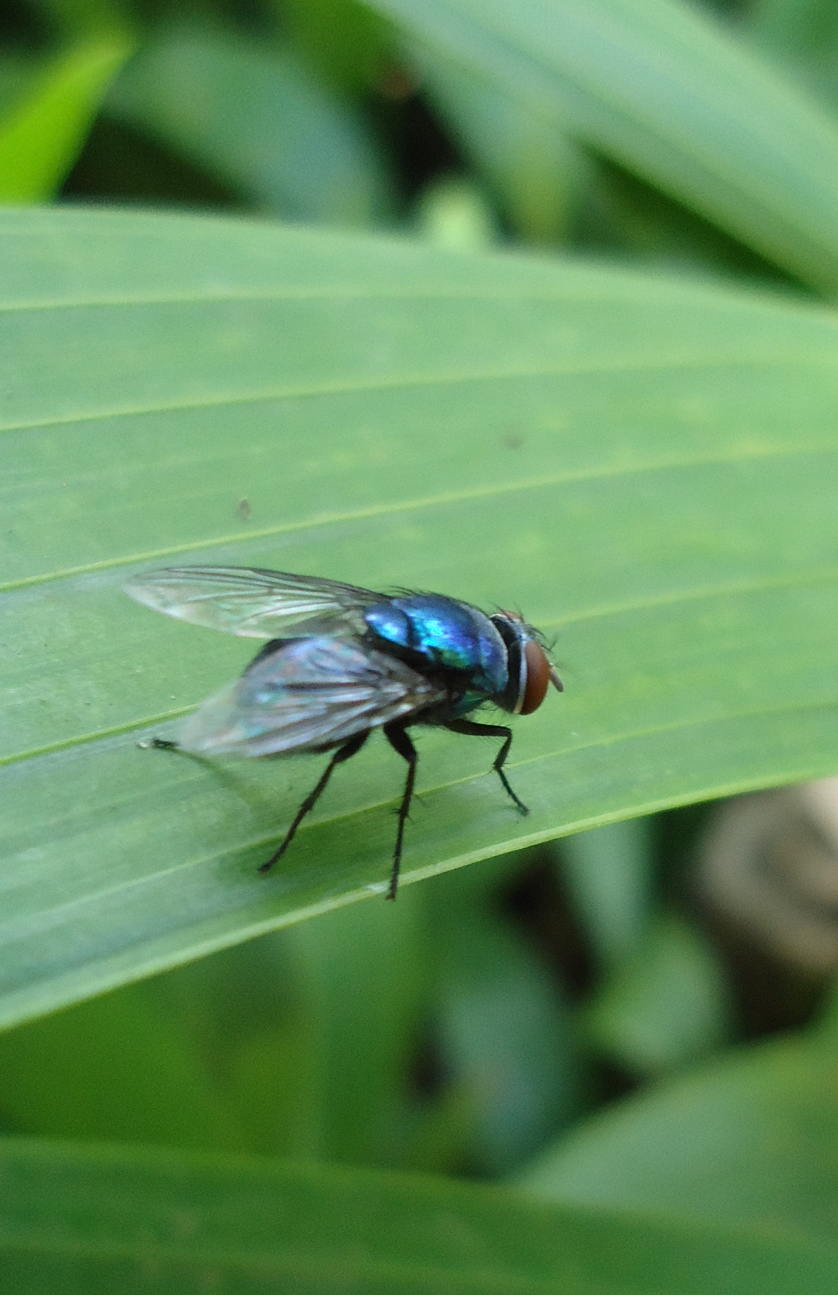 Мясная муха: фото и описание