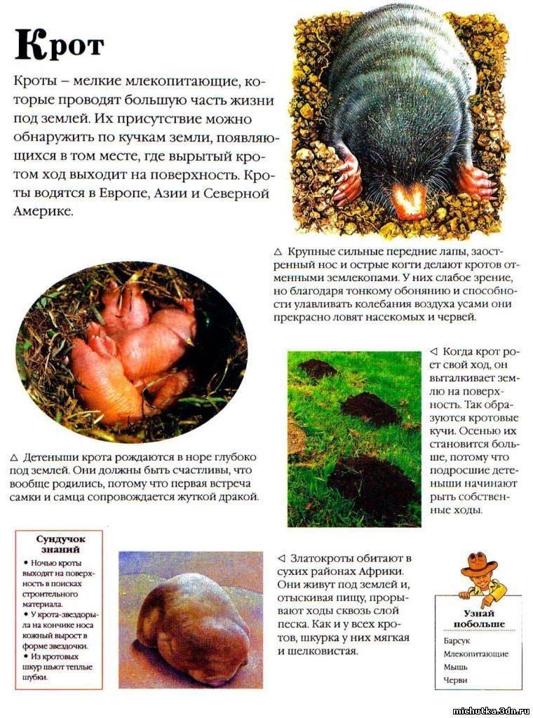 Крот: описание животного, сколько живет, чем питается, виды