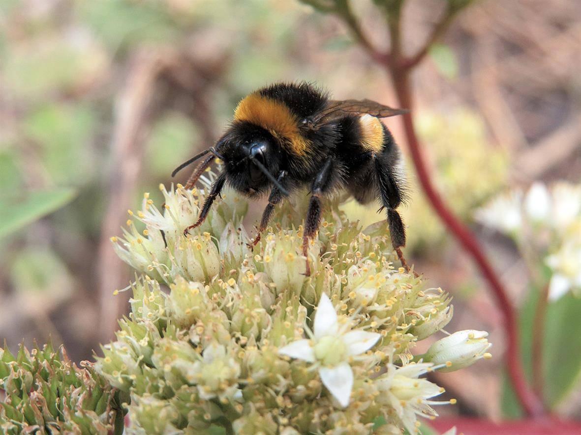Шмель: виды, особенности где живут и чем питаются представители семейства настоящих пчел