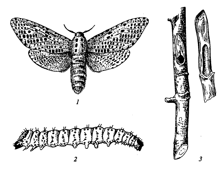 Бабочки-вредители с фото и названиями и гусеницы-вредители огорода и сада