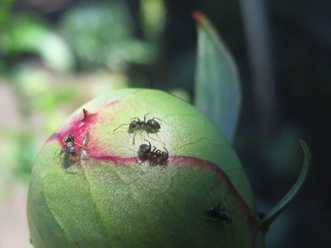 Муравьи на пионах: как от них избавиться и чем обработать бутоны и цветы