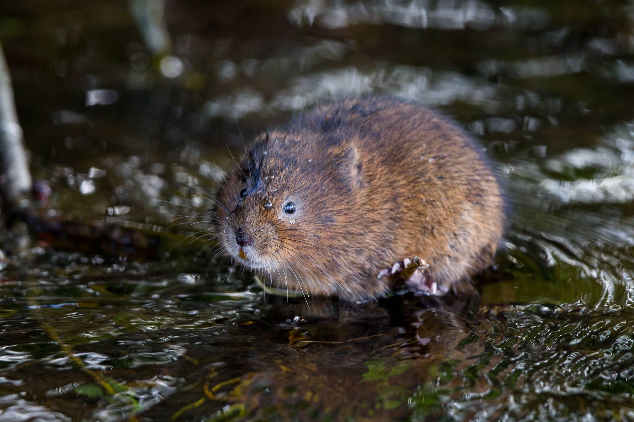 Водяная крыса - фото и описание