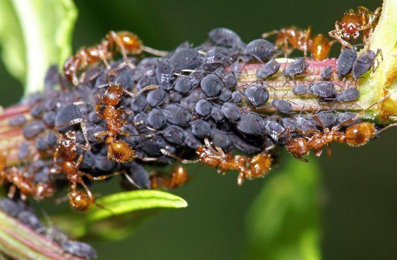 Как бороться с муравьями и тлей на смородине: опрыскивание, народные средства