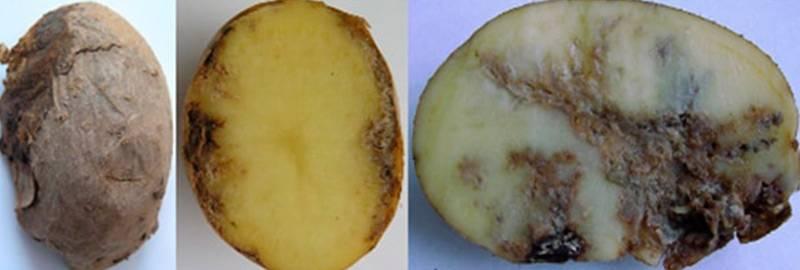 Картофельная нематода: вредитель, признаки и меры борьбы
