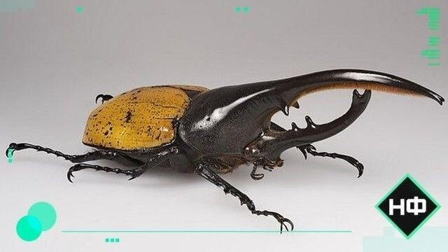 Самые большие в мире жуки | vivareit