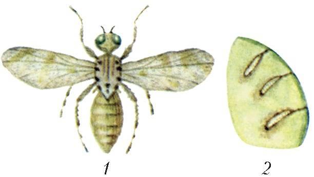 Как бороться с мухами и другими вредителями дыни
