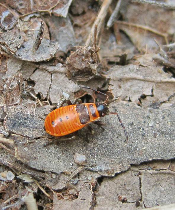 Клоп солдатик: фото жука, описание, методы борьбы с вредителем