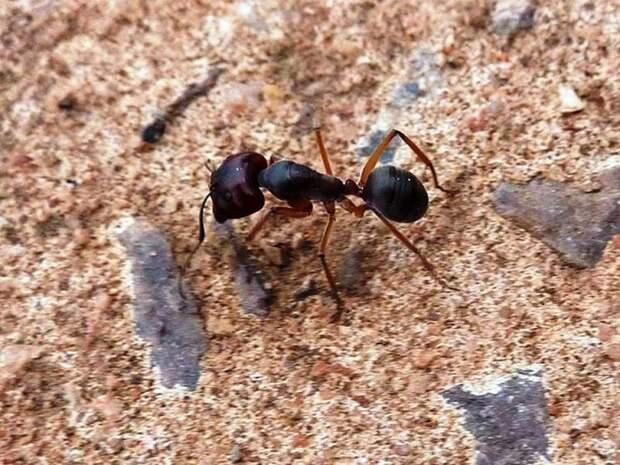 Муравей это насекомое или животное?