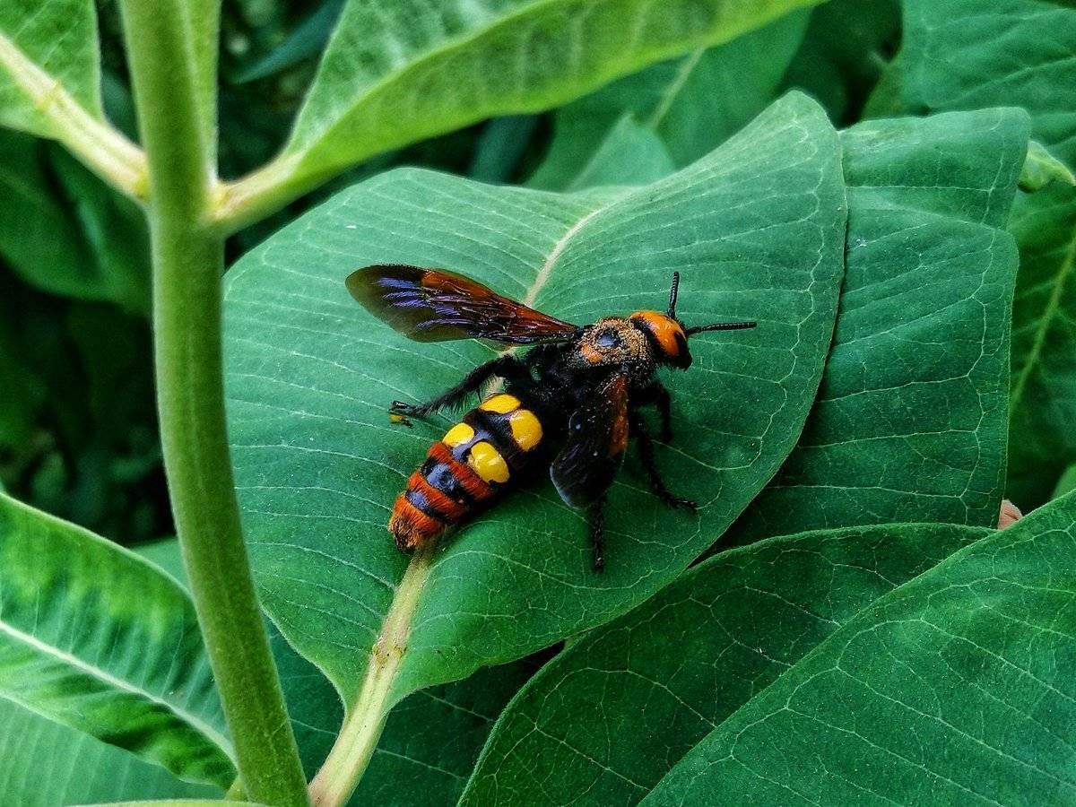 Vespa mandarinia: королевский шершень-убийца