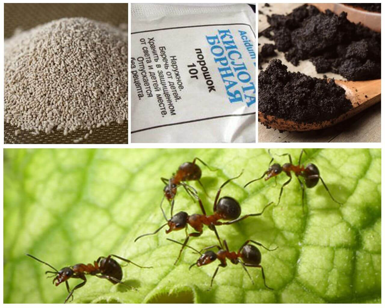 Муравьи на пионах: как избавиться от муравьев на пионах навсегда!