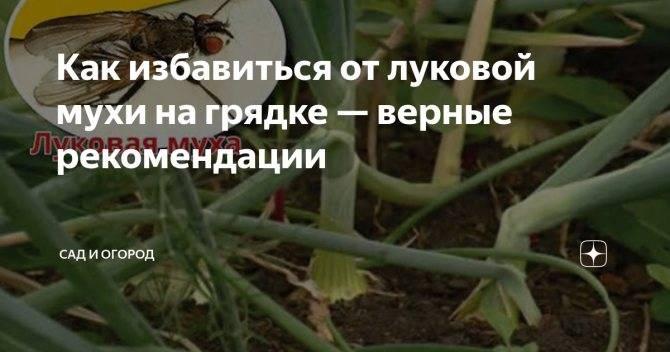 Как бороться с луковой мухой и чем обработать растение от вредителей