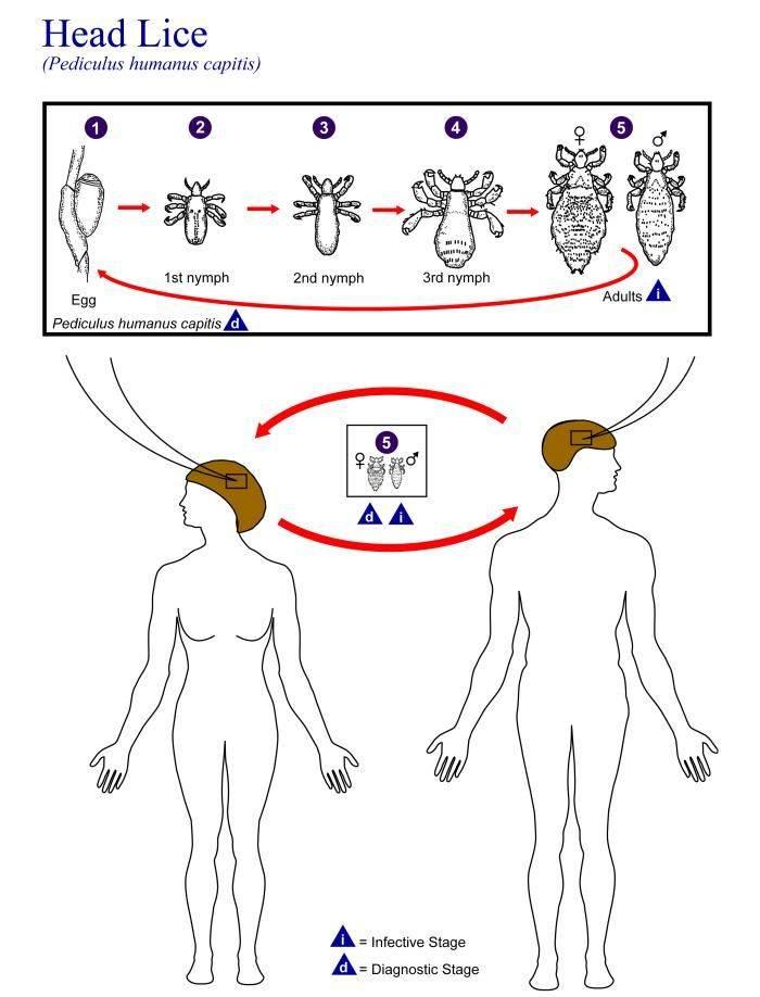 Сколько живут вши и гниды вне головы человека?
