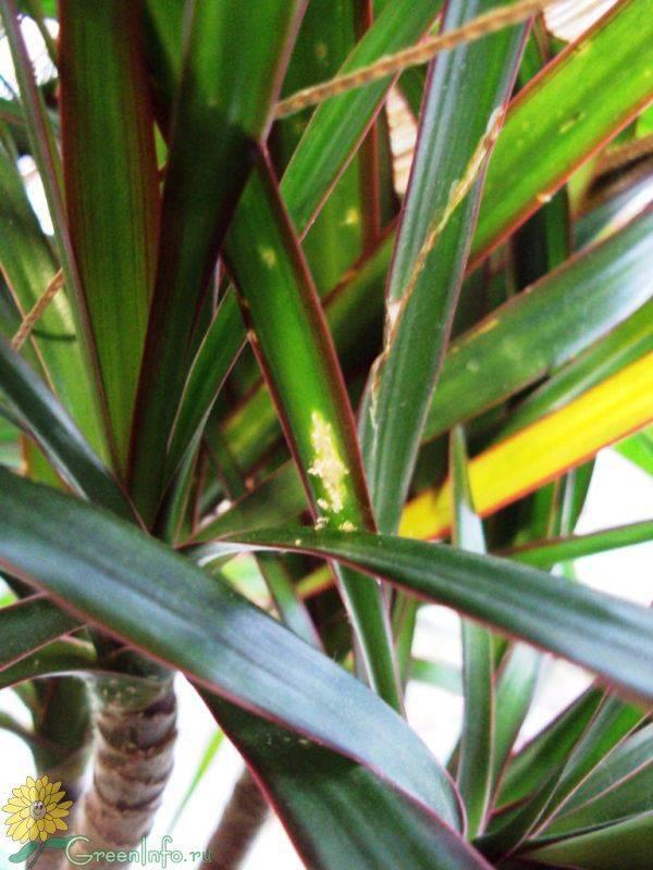 Мучнистый червец на комнатных растениях: как бороться, как выглядит на фото, и корневой и иные виды, лечение народными средствами, борьба химическими веществами