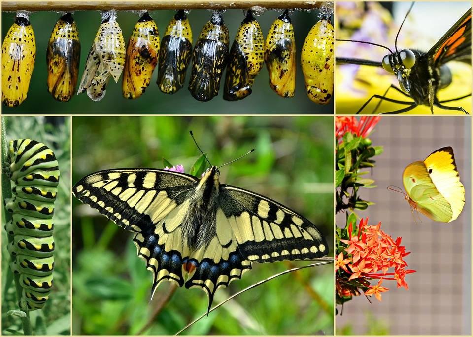 Презентация к уроку по окружающему миру (старшая группа) на тему: превращение гусеницы в бабочку.